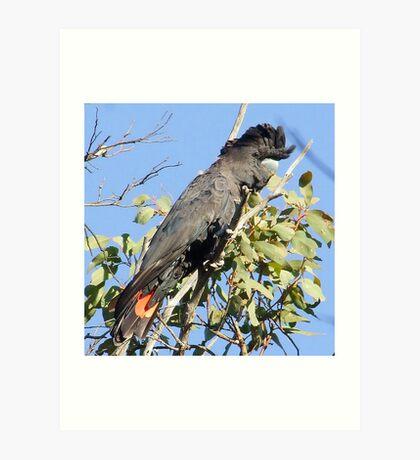 Red-Tail Black Cockatoo (male) Art Print