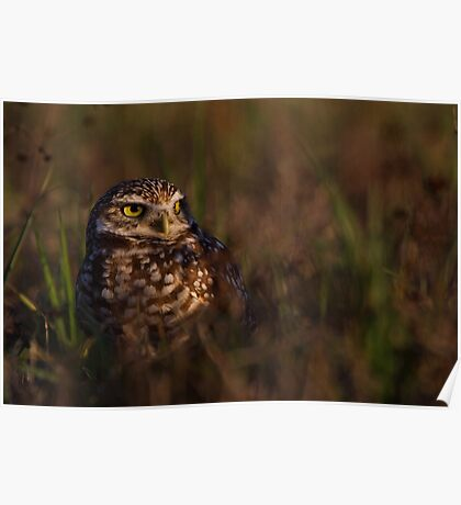 Burrowing Owl at last light - Cape Coral, Fl. Poster