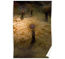 Sea Anemone (Monterey Bay Aquarium, California) Poster