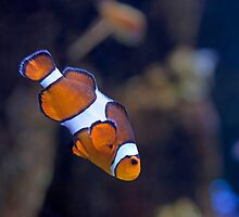 Clowning Around (Aquarium of the Pacific, Long Beach, California) by Brendon Perkins