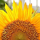sunrise sunflower by naturalgifts