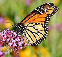 butterfly on purple flower by naturalgifts