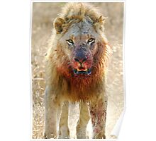 Majingilane - Male Lion - Hyena Intimidation Poster