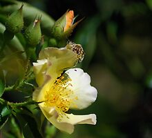 Yellow wild rose by Ben Waggoner