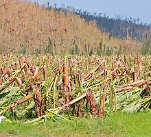 Devastated banana crop by Johan Larson