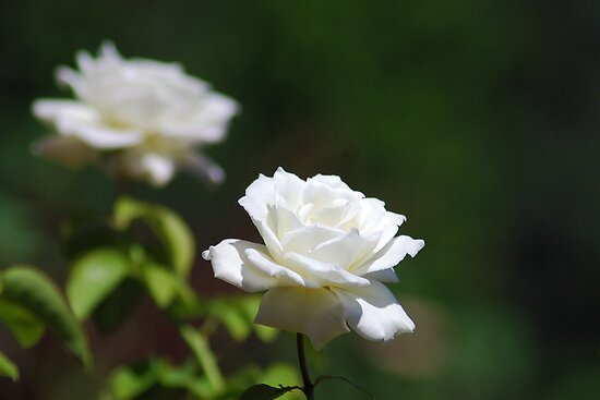 White roses by Ben Waggoner