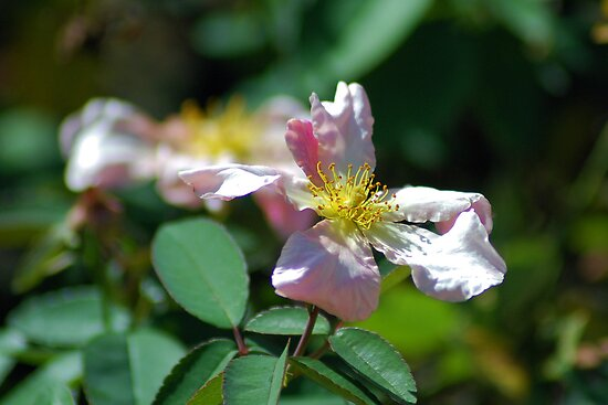 Pink wild rose by Ben Waggoner