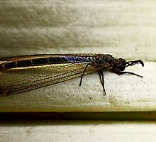 Antlion Lacewing Insect ~ 2 by Carla Jensen