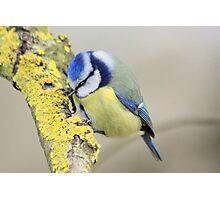 The Blue Tit (Cyanistes caeruleus) Photographic Print