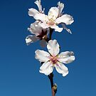 Blossoming almond on Tenerife by Trine