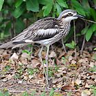 Bush Stone-Curlew - Palm Cove by Alwyn Simple