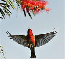 Scarlet Honeyeater - Julatten Nth Qld. by Alwyn Simple