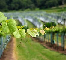 Grape Vines by Geoff Smith