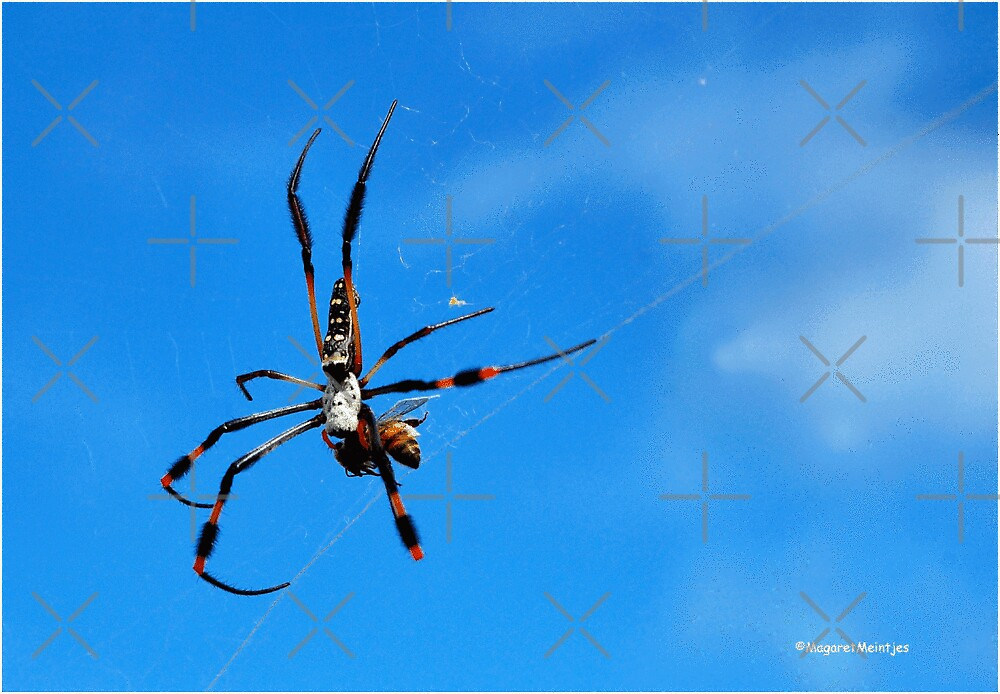 GOLDEN ORB-WEB SPIDERS - _Family tetragnathidae_ by Magriet Meintjes
