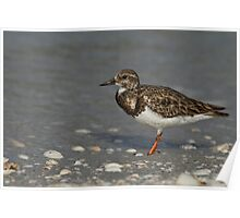 The little Ruddy Turnstone Poster