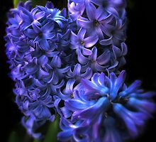 Blue Hyacinth by Jessica Jenney