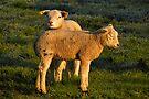 Lamb in Spring Light by Jo Nijenhuis