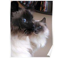 Gracious Birman cats Puk & Bibi Poster