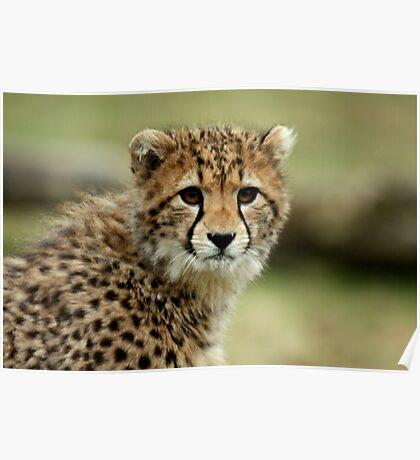 Cheetah Cub Poster