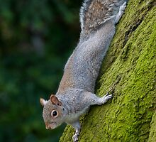 Squirrel by jtmwood
