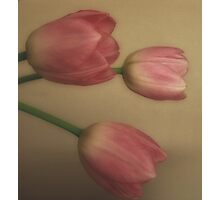 3 heads are better then 1 (pink tulips) Photographic Print