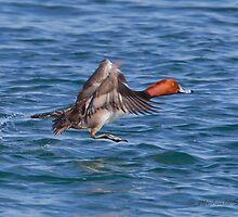Red-headed Duck male by PixlPixi