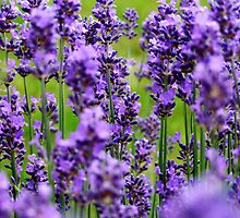 Lavender Blue by Paul  Green