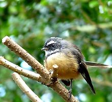 A Quick Pose - Fantail - Southland by AndreaEL