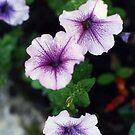 Goodnight petunias! by lenslife