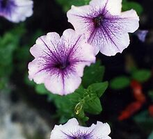 Goodnight petunias! by lenslife