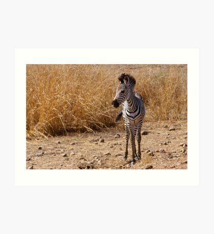 Watchful zebra foal in Zambia Art Print