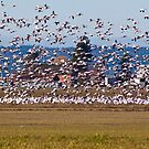 Skagit Valley Snow Geese by Barb White