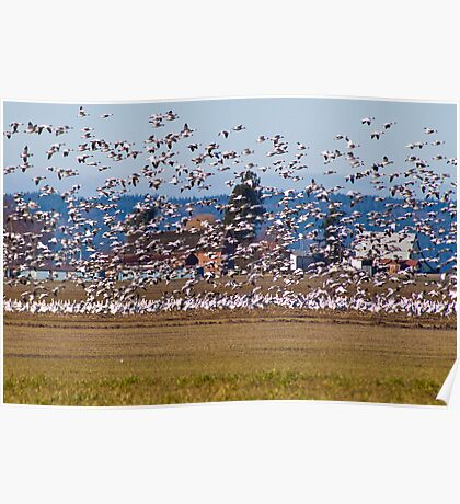 Skagit Valley Snow Geese Poster