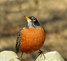 'Thinking' (American Robin ~ Turdus migratorius) by Kyle Wolff