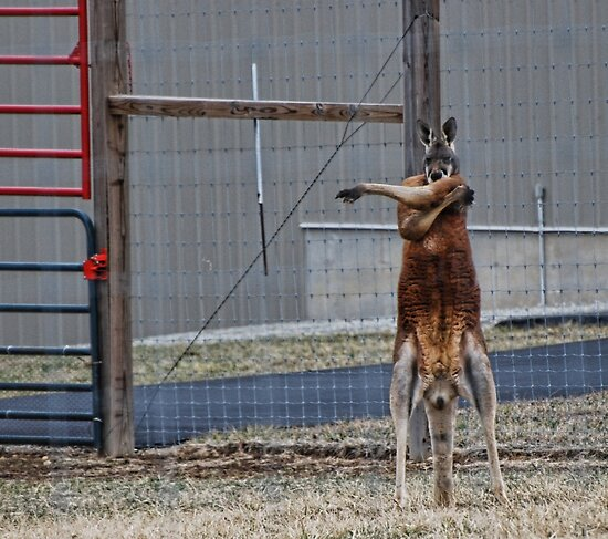 Missouri Red Kangaroo by barnsis