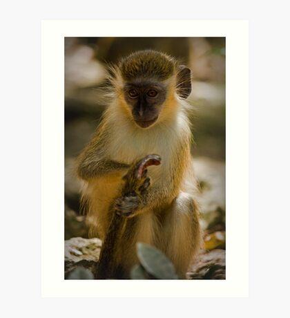 Green Monkey of Barbados Art Print