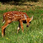 Innocence (White-tailed Deer Fawn) by Robert Miesner
