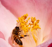 Bee on a Camellia by J. Day