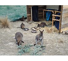 Mother substitution enclosure for young wallabies Photographic Print