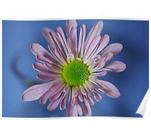 Pink Daisy on Blue Poster