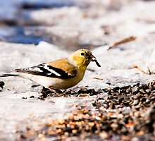 American Goldfinch by Sean McConnery