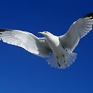 Seagull in Flight by MaryinMaine