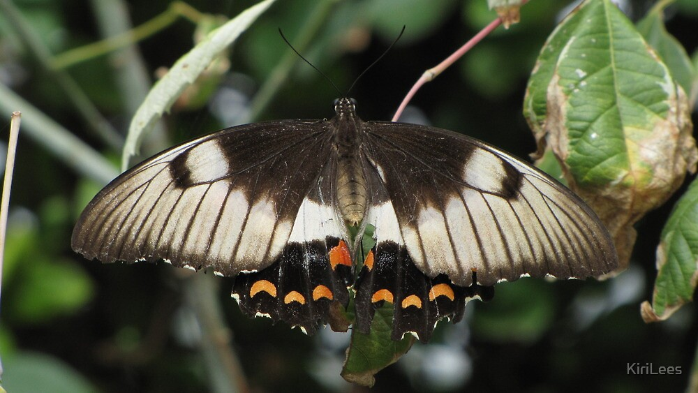 Orchard Swallowtail! by KiriLees