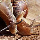 Best Friends - Garden Snail Cantareus aspersus by Rhonda F.  Taylor