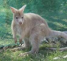 Sandy the pale wallaby  by Ron Co