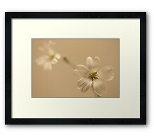 Two daisy's on brown background Framed Print