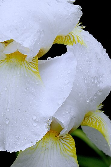 Iris Rain by NatureGreeting Cards ©ccwri