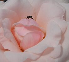 Rose bug by 3Cavaliers