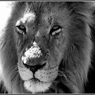 Male Lion by elizegrundlingh