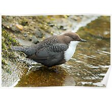 Adult White-Throated Dipper Poster